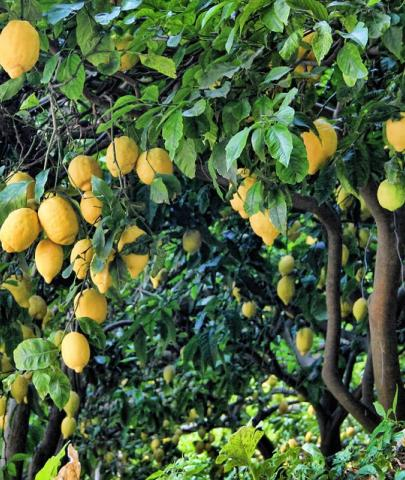 limonaie_tremosine