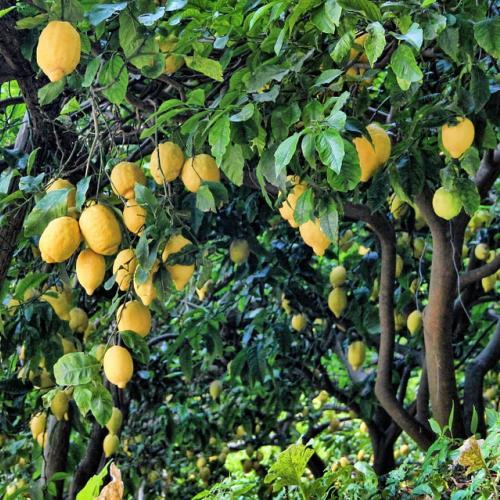 Limonaie a Tremosine sul Garda